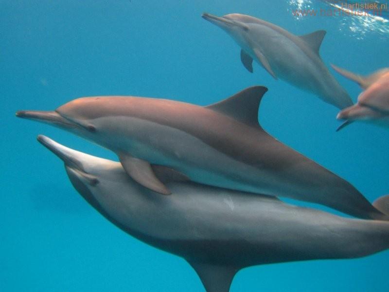 Dolfijnenliefde