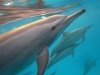 Wilde dolfijnen in zuidelijk Egypte, Rode Zee.